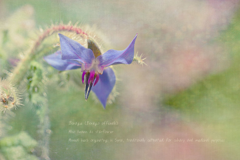 Borage (Borageo Officinalis)