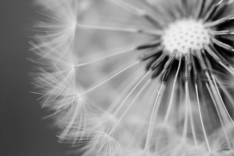 Dandelion - After processing in Lightroom to b&w high contrast
