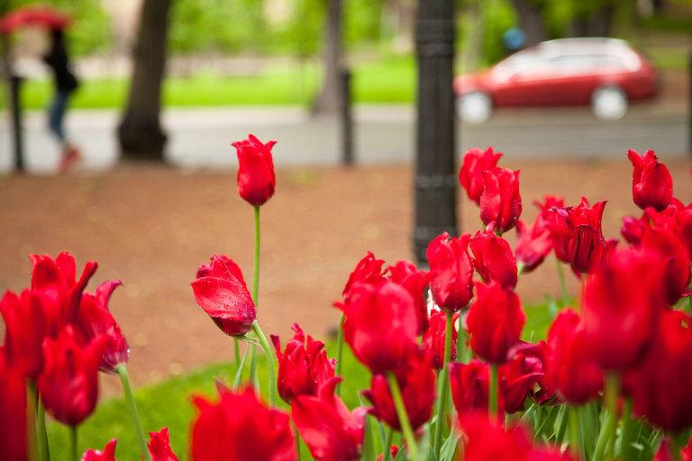 Tulips in Turku