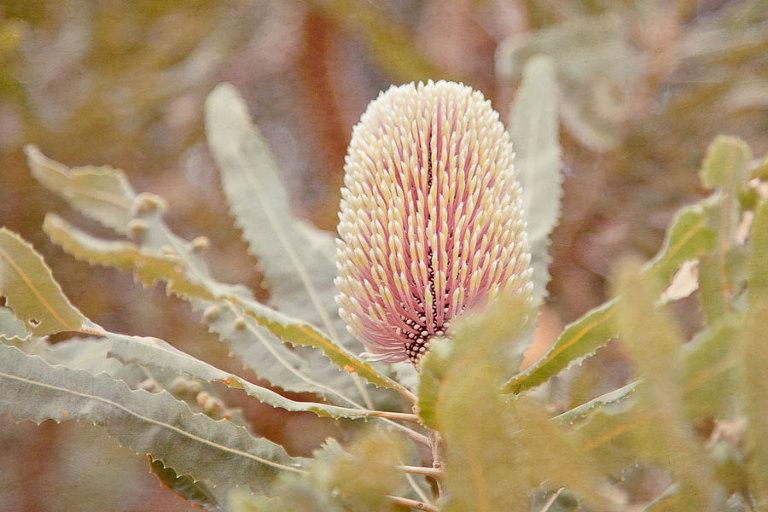 Banksia Flower; native Australian wildflower