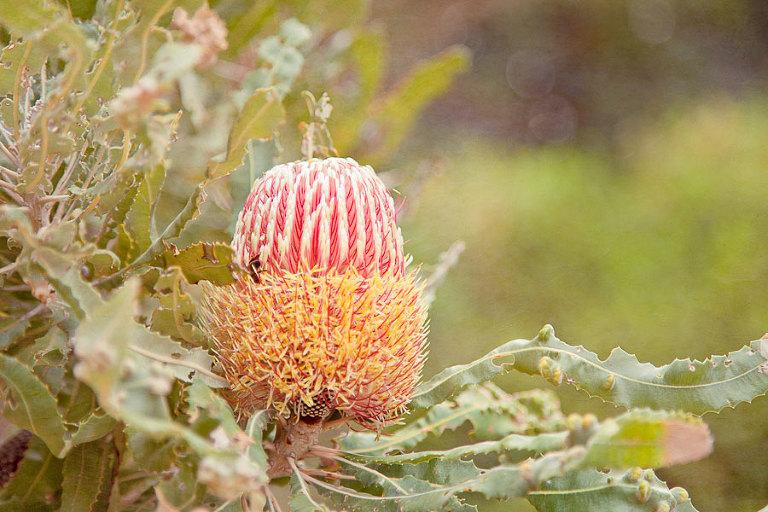 Native Australian wildflower - Banksia with honey bee