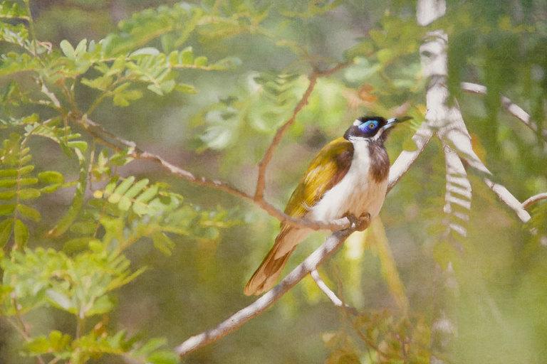 Blue Faced Honeyeater in Tree