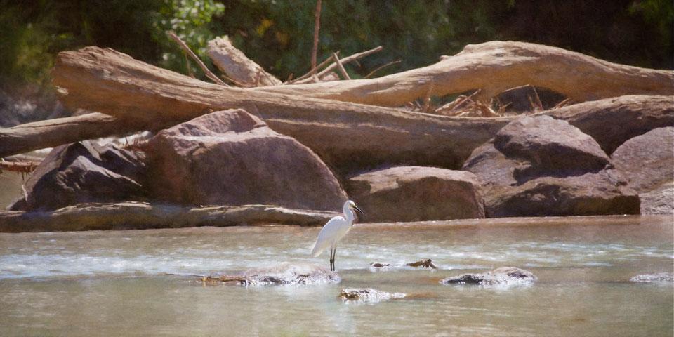 Egret on Cahills Crossing