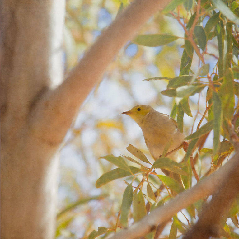 Grey Honeyeater