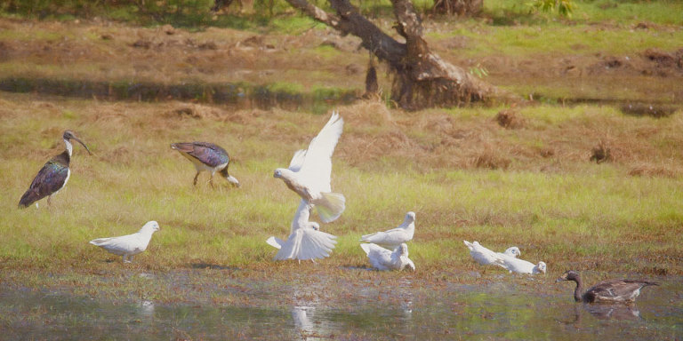 Little Corellas, Straw Necked Ibis, Magpie Goose on Anbangbang Billabong