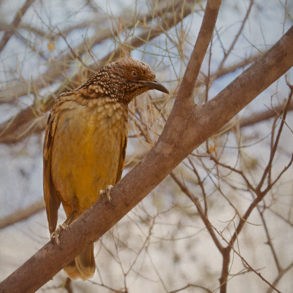 Western Bowerbird on Branch