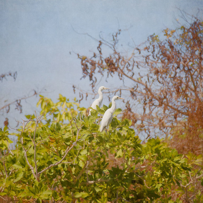Two Egrets
