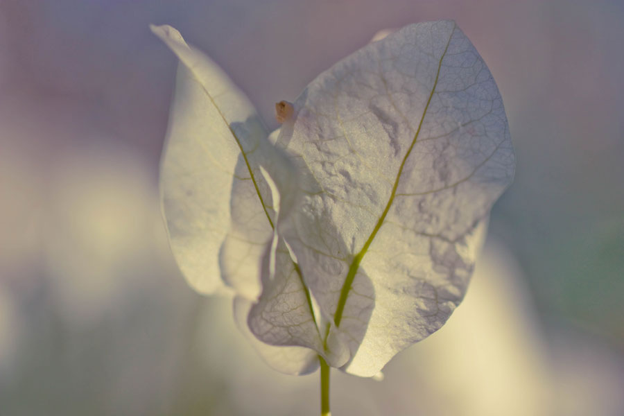 Bougainvillea Angel - Before processing with textures overlays in Photoshop