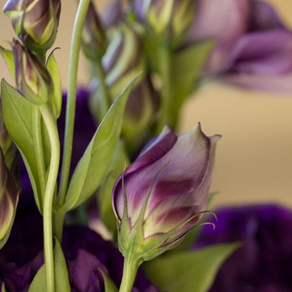Lovely Lisianthus - Before processing with digital textures