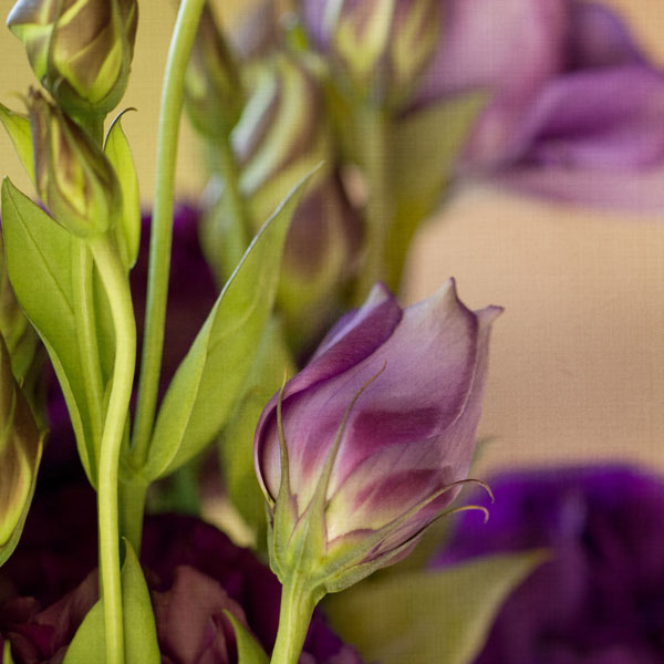 Lovely Lisianthus - After processing with digital textures