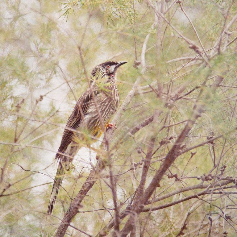 Wattle Bird; native Australian fauna
