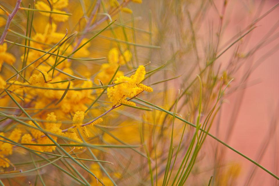 Native Australian wildflower; wattle; golden yellow against red dust