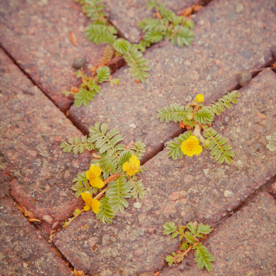 Buttercups flowering in paving