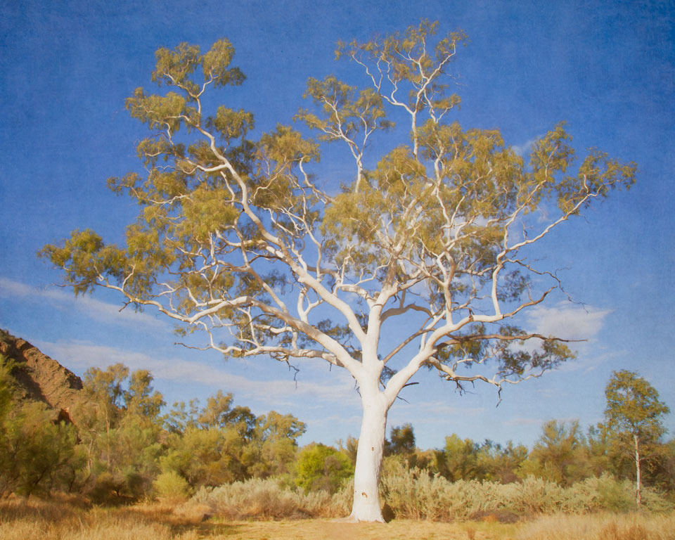 Largest Ghost Gum in Australia