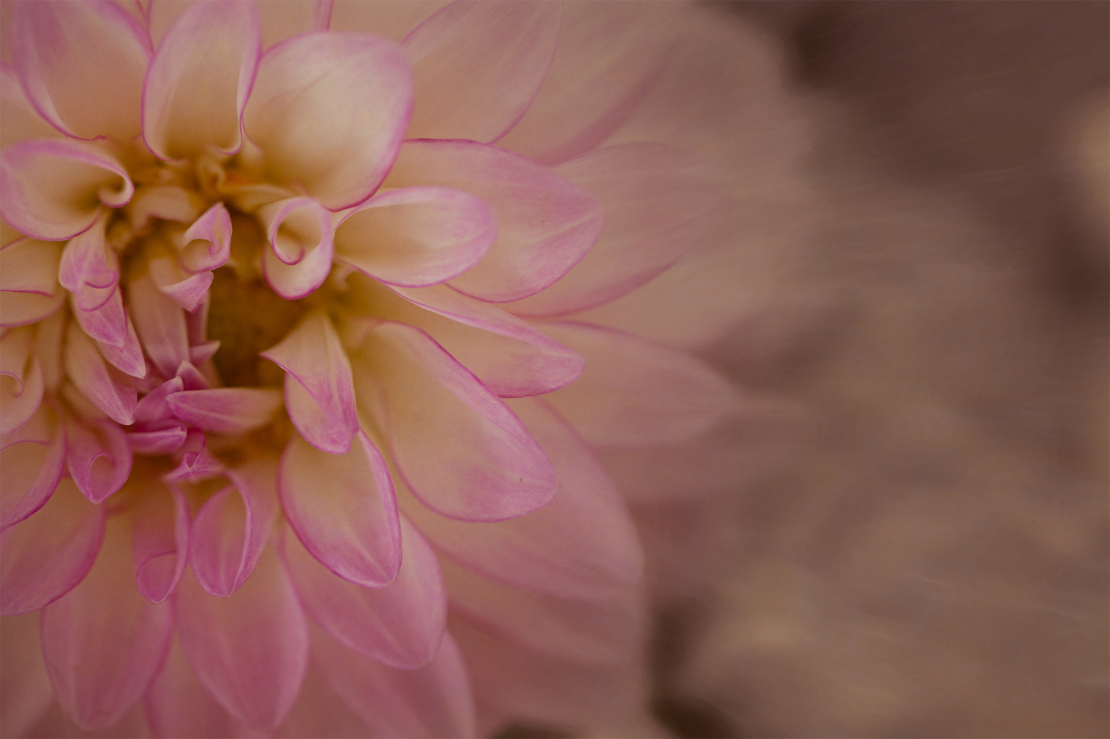 Image of a pink chrysanthemum after processing with textures